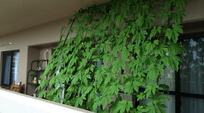 グリーンカーテンの台風対策。